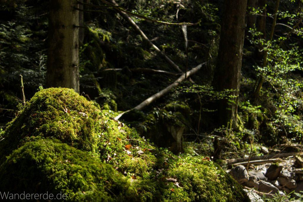 Wanderweg Wildbachtour im Schwarzwald, mit Moos bewachsene Steine im Wald