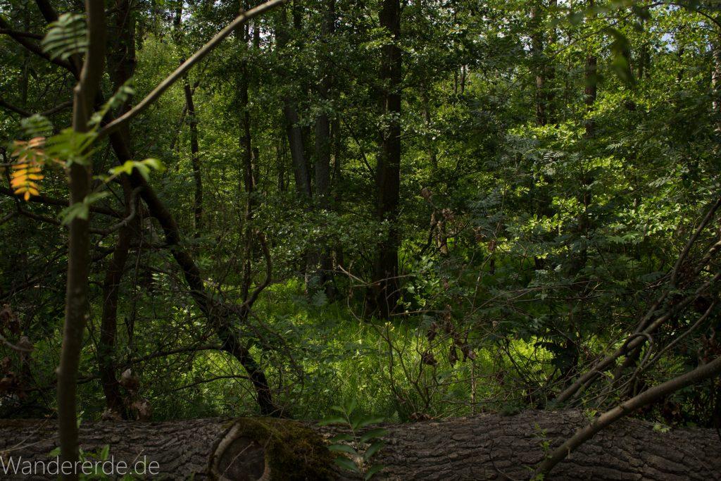 Rundweg Gördensee Havelland Brandenburg an der Havel, schöner Wald mit vielen Bäumen Schatten spendend weicher Waldboden Weg um Gördensee umgefallener Baum