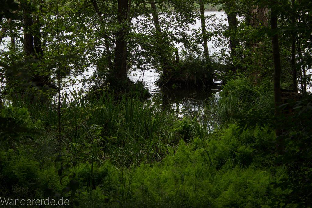 Rundweg Gördensee Havelland Brandenburg an der Havel, schöner Wald mit vielen Bäumen Schatten spendend Weg um Gördensee Baum im Sumpf wie Mangrovenwald saftig grüne Farne