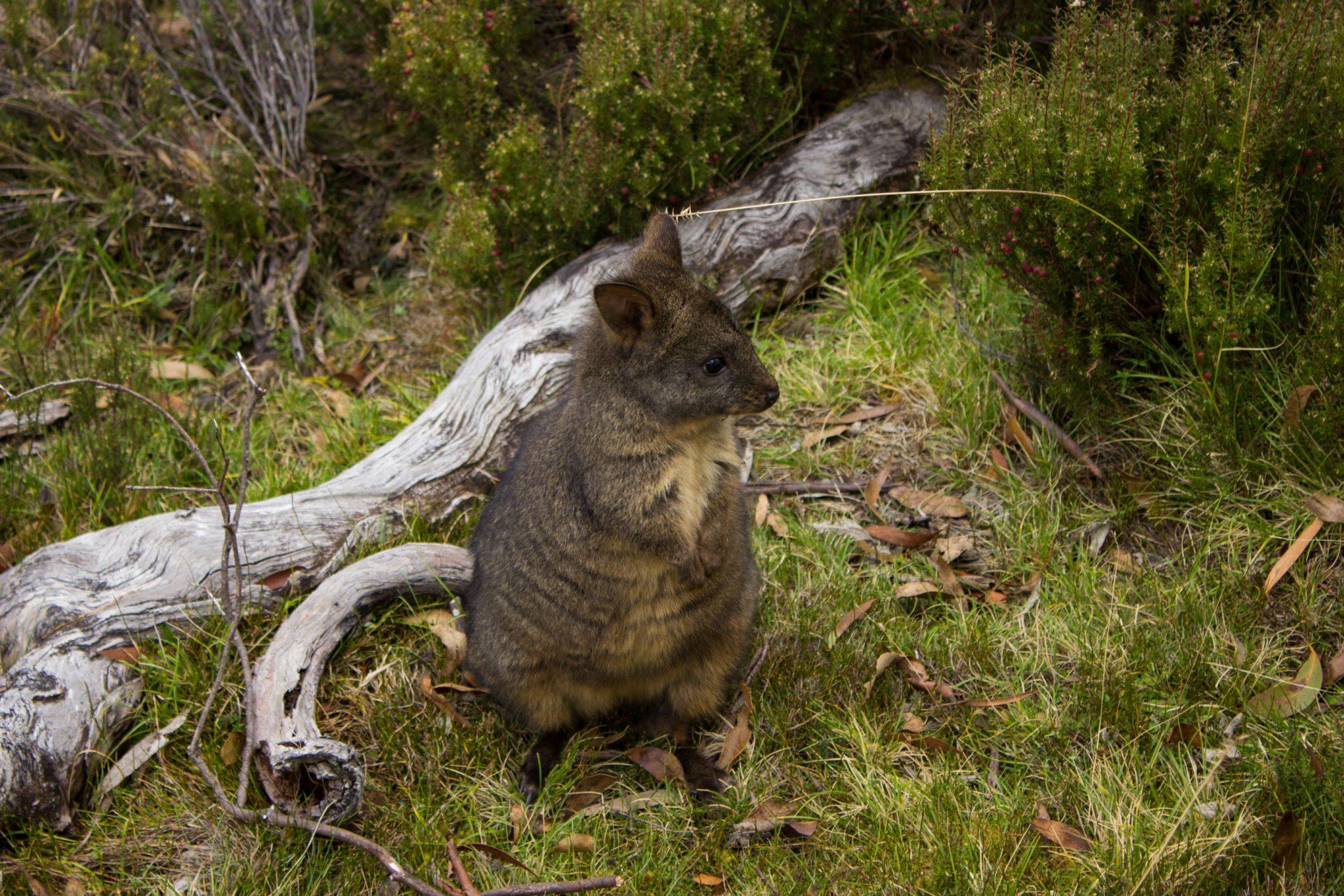 kleines Wallaby Känguruh auf Wiese dicht dran, Wanderung Overland Track im Cradle Mountain Lake St. Clair National Park