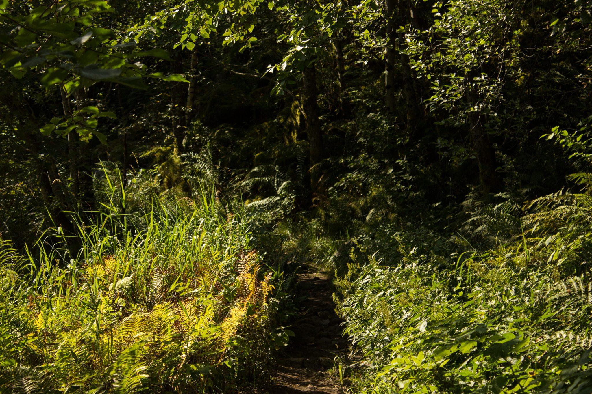 Wanderung vom Ort Sundal bis zum Gletscher Bondhusbreen im Folgefonna Nationalpark, schmaler Pfad durch Wald, saftig grüne Natur mit vielen Farnen