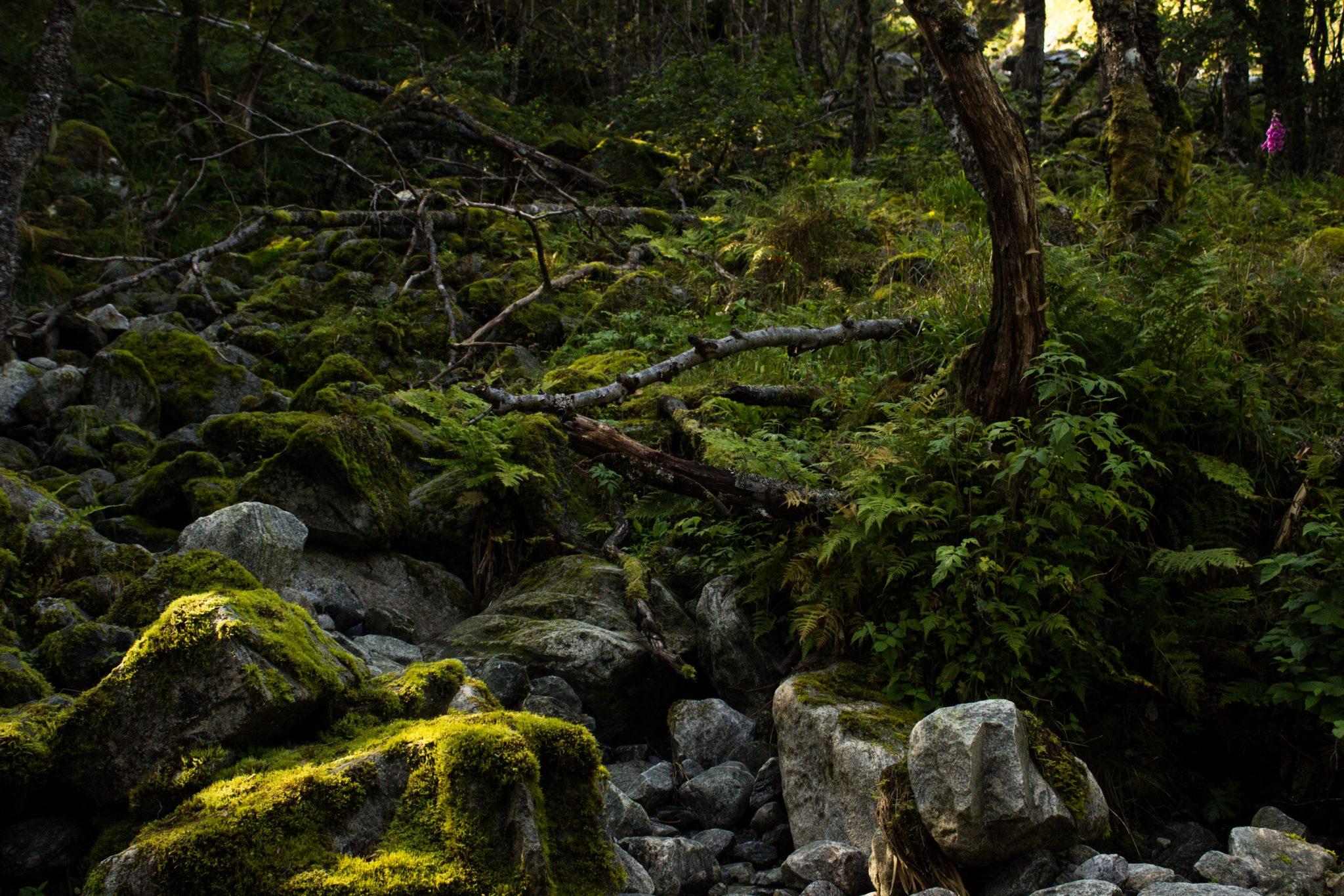 Wanderung vom Ort Sundal bis zum Gletscher Bondhusbreen im Folgefonna Nationalpark, moosbewachsene Steine im Wald, saftige grüne Vegetation