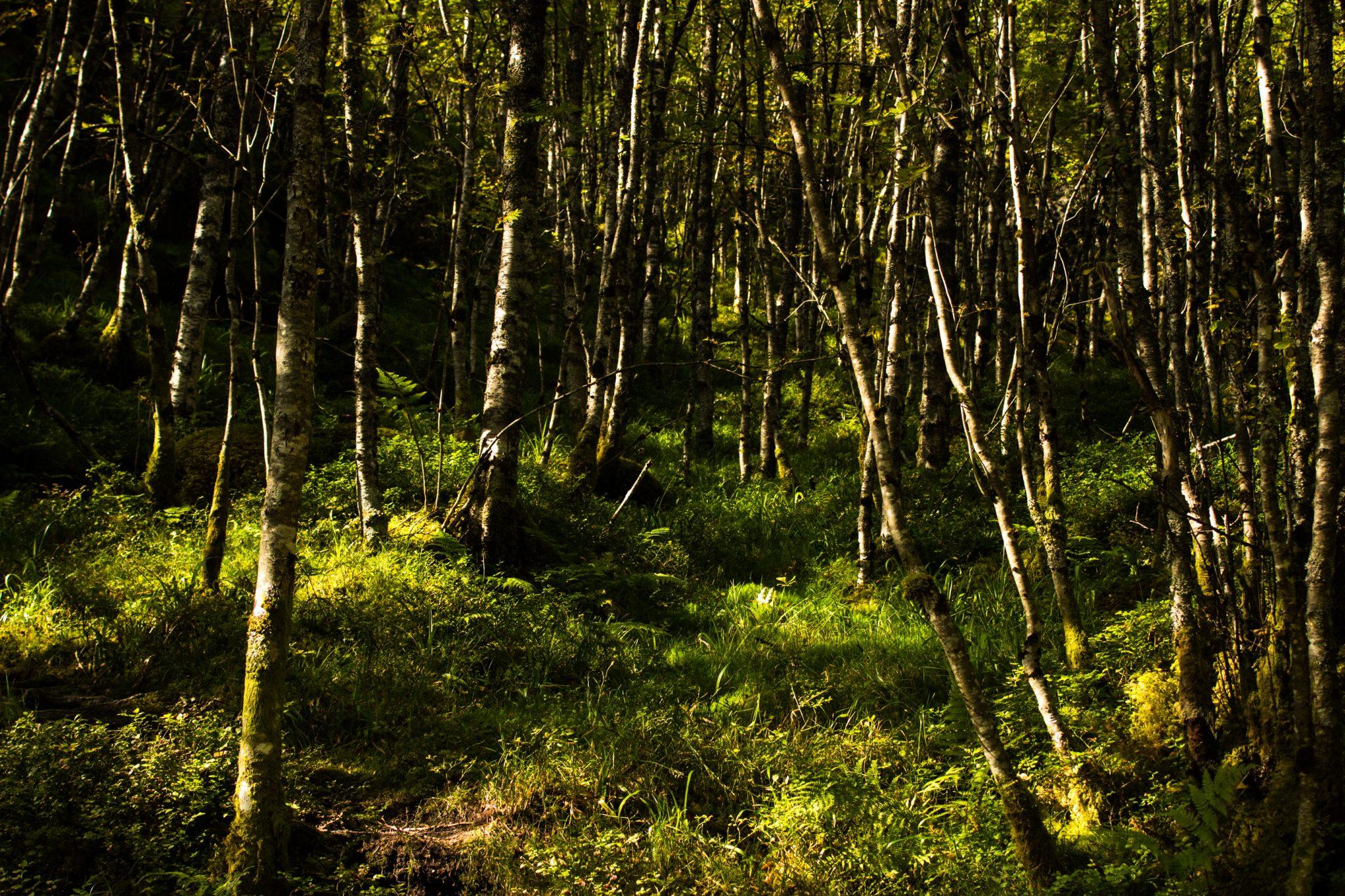 Wanderung vom Ort Sundal bis zum Gletscher Bondhusbreen im Folgefonna Nationalpark, saftige grüne Vegetation im Wald, Sonne scheint bis zum Erdboden