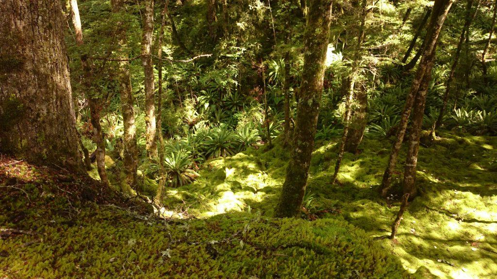 Wanderung Kepler Track - Great Walk, Wanderweg durch grünen Wald, schöne Bäume, herrlicher Sommertag in Neuseeland Südinsel, Fiordland National Park, erster Wandertag beim Kepler Track