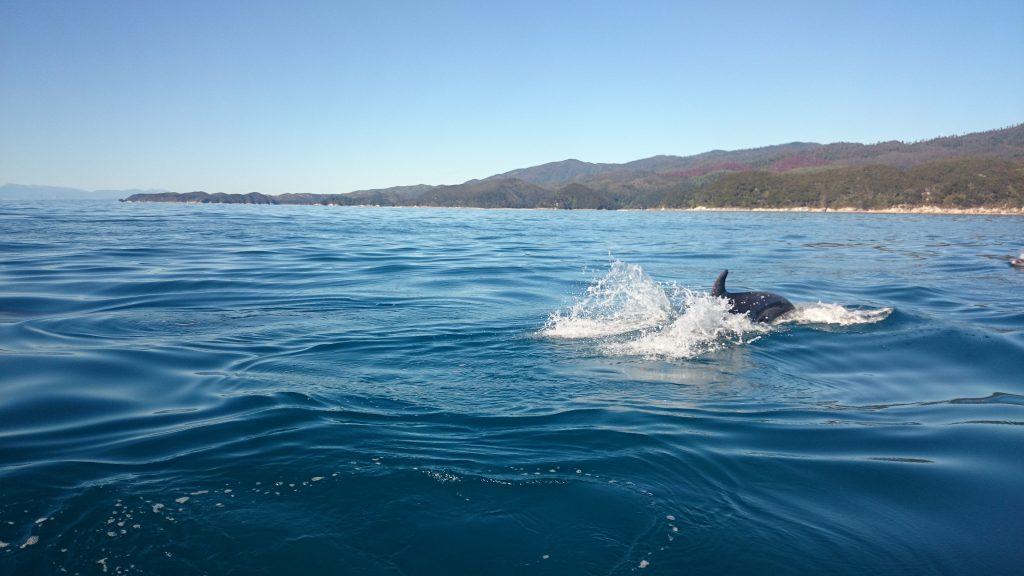 Wanderung Abel Tasman Coast Track Great Walk Südinsel Neuseeland, Delfin Schule im glasklaren, kühlen, azurblauen Meerwasser vom Boot Wassertaxi gesehen vor den Buchten beim Abel Tasman Coast Track