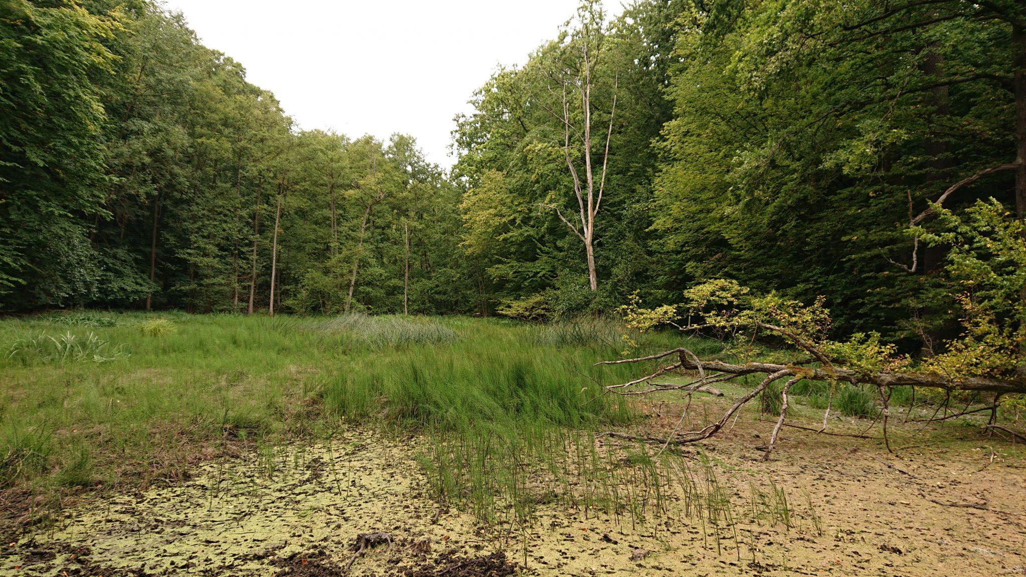 Nationalpark Hainich Saugrabenweg und Betteleichenweg wandern, dichter, ursprünglicher Buchenwald, kleiner natürlicher Teich