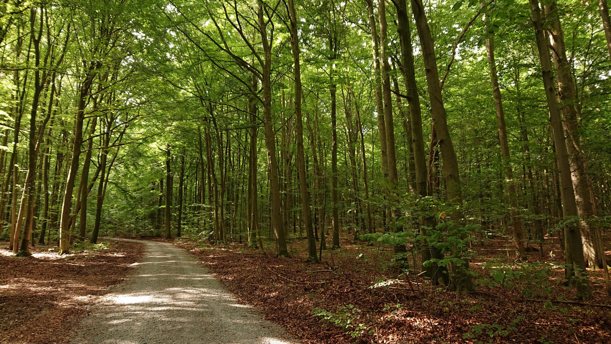 Nationalpark Hainich Saugrabenweg und Betteleichenweg wandern, dichter, ursprünglicher Buchenwald, schöner Wanderweg