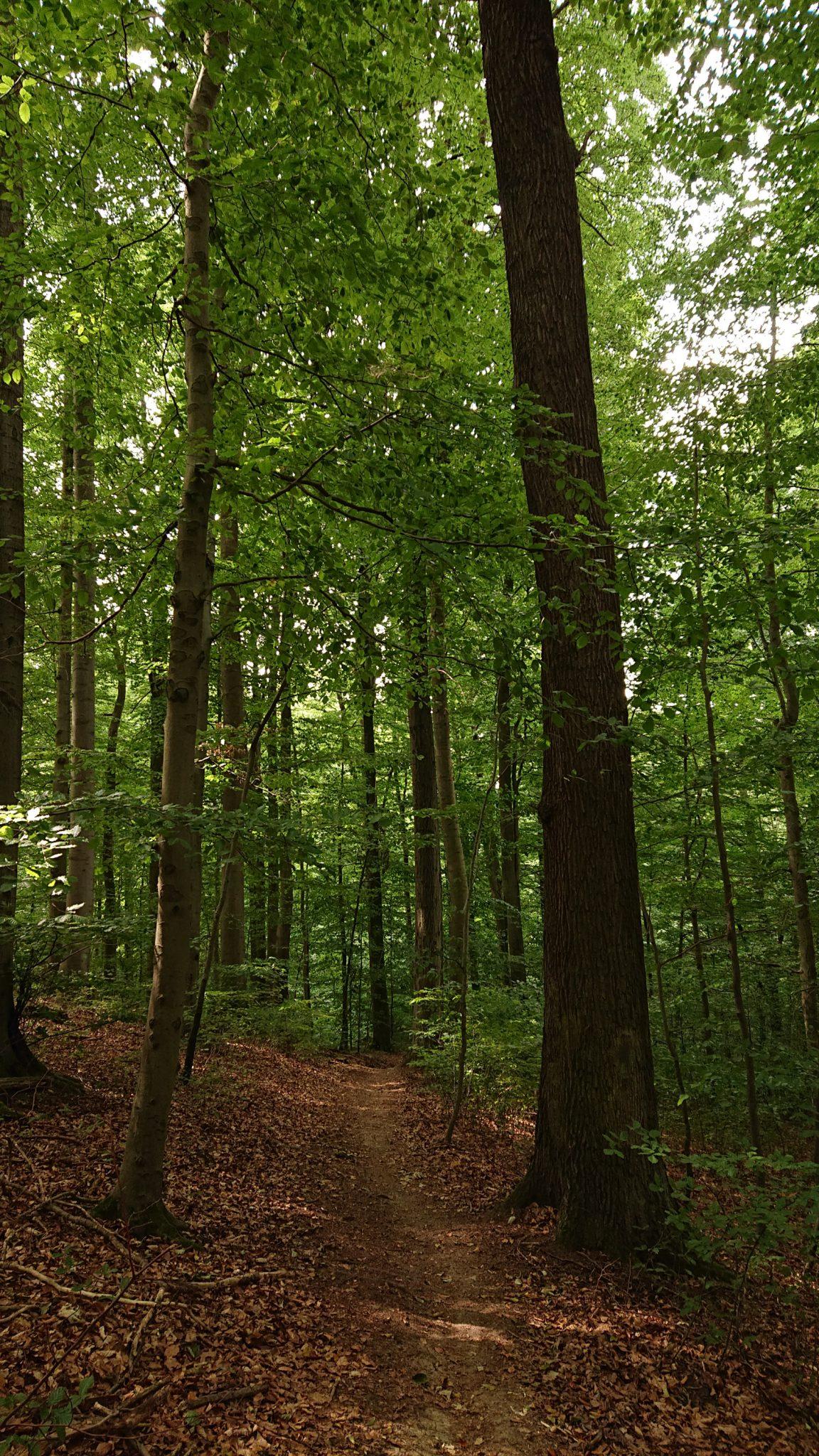 Nationalpark Hainich Saugrabenweg und Betteleichenweg wandern, dichter, ursprünglicher Buchenwald, schmaler toller Pfad