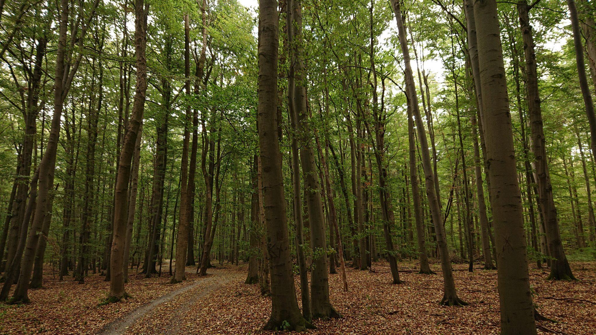 Nationalpark Hainich Saugrabenweg und Betteleichenweg wandern, dichter, ursprünglicher Buchenwald, tolle Atmosphäre, sehr schmaler Pfad