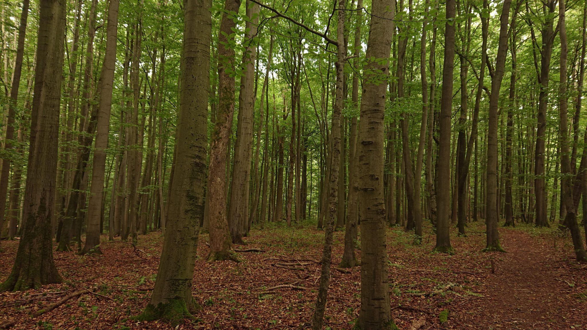 Nationalpark Hainich Saugrabenweg und Betteleichenweg wandern, dichter, ursprünglicher Buchenwald, tolle Atmosphäre, schmaler Pfad