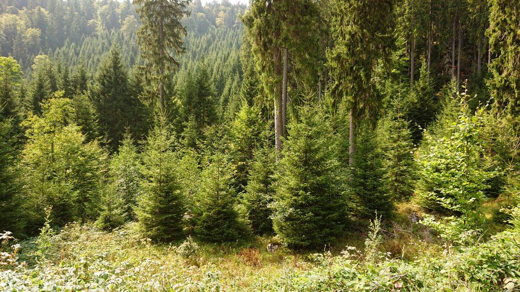 Dreibrodesteine Wanderung im Harz bei Sankt Andreasberg, Weg durch das schöne Siebertal, Nadelbäume