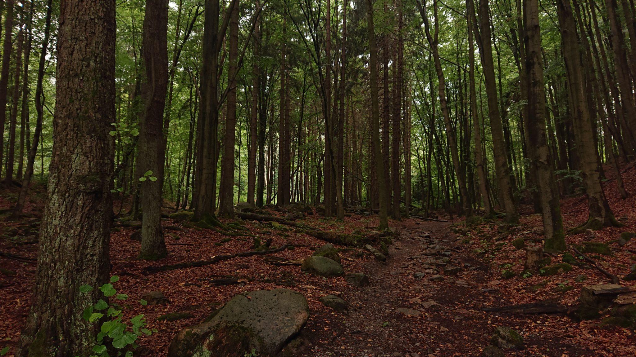 Wanderung Brocken über Heinrich-Heine-Weg Start in Ilsenburg, Nationalpark Harz, schöner Wanderweg im Wald, atmosphärisch, herrliche frische Luft
