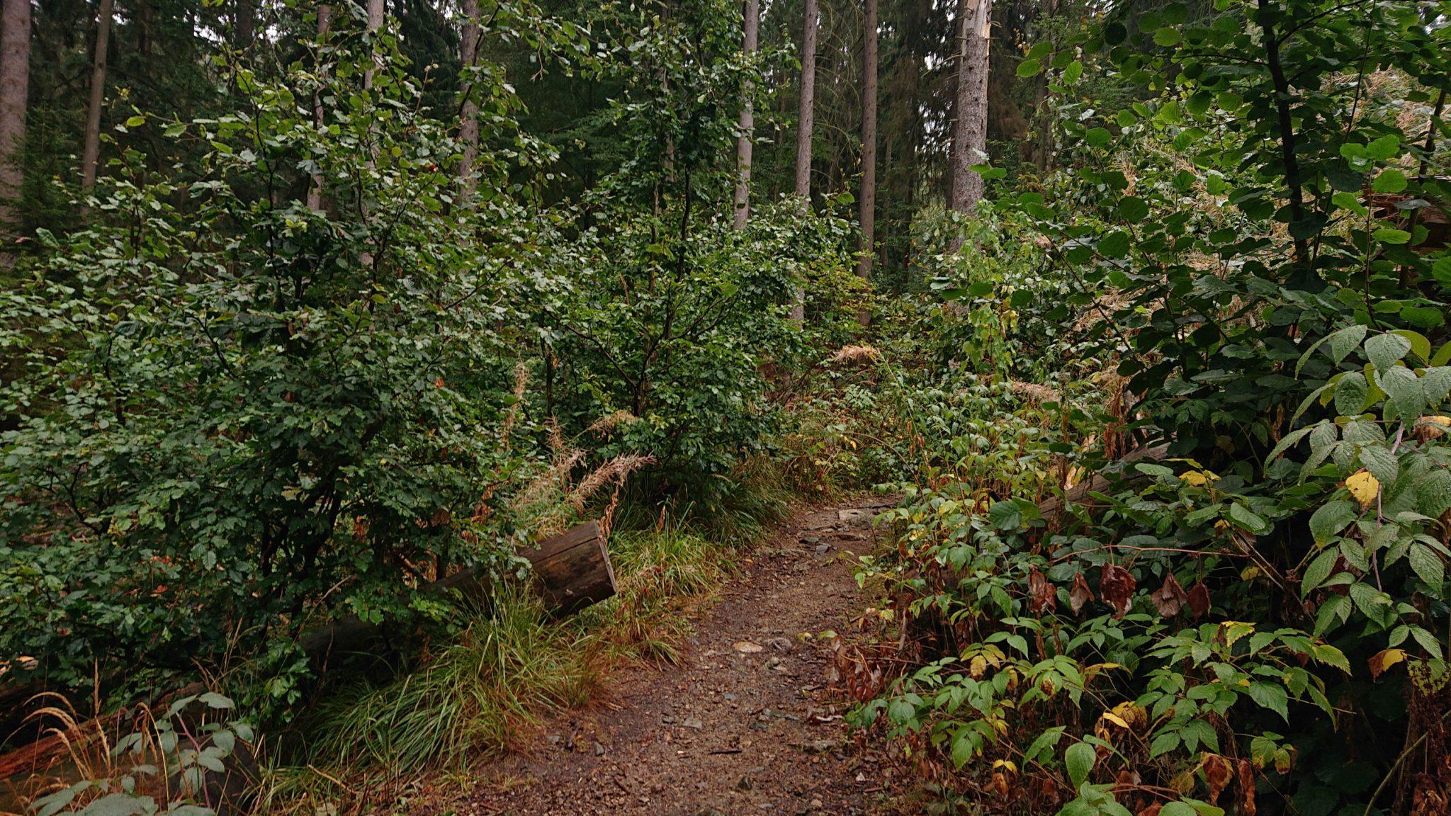 Wanderung Brocken über Heinrich-Heine-Weg Start in Ilsenburg, Nationalpark Harz, schöner Wanderweg im Wald, atmosphärisch, herrliche frische Luft, viele Laubbäume, schmaler Pfad