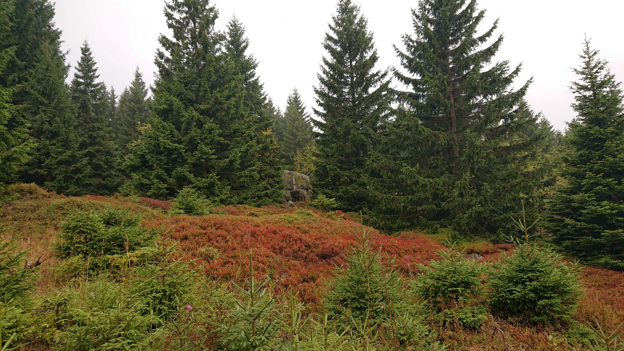 Wanderung Brocken über Heinrich-Heine-Weg, Start in Ilsenburg, Nationalpark Harz, schöner Wanderweg im Wald, atmosphärisch, herrliche frische Luft