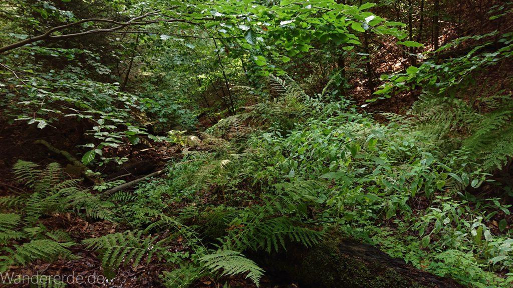 Von Bad Harzburg zur Rabenklippe und durchs Eckertal, Wanderung im Harz in Niedersachsen, grüne Farne