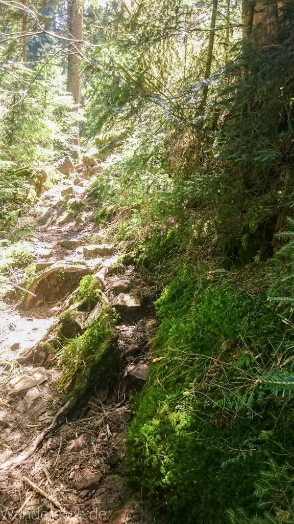 Seensteig Etappe 5, Wald beim Seensteig, natürlicher Weg durch dichten Wald, über Stock und Stein