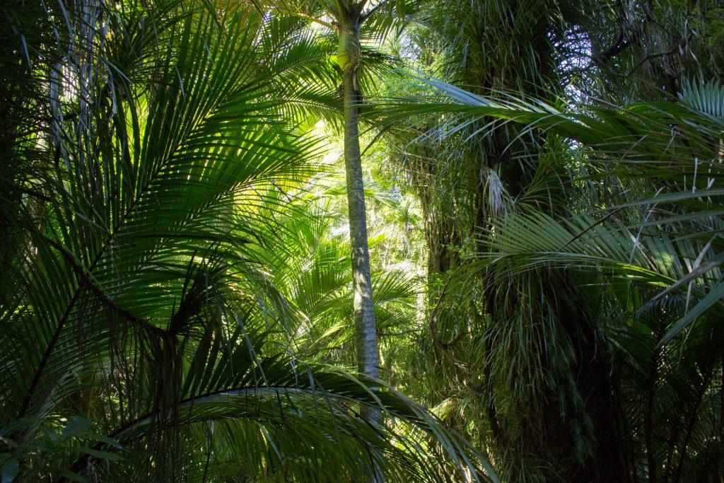 Wanderung Abel Tasman Coast Track Great Walk Südinsel Neuseeland, dichter grüner Wald, Sonnenstrahlen kämpfen sich Richtung Waldboden, sehr große Palme und Farne im saftig grünen Wald unweit vom Traumstrand