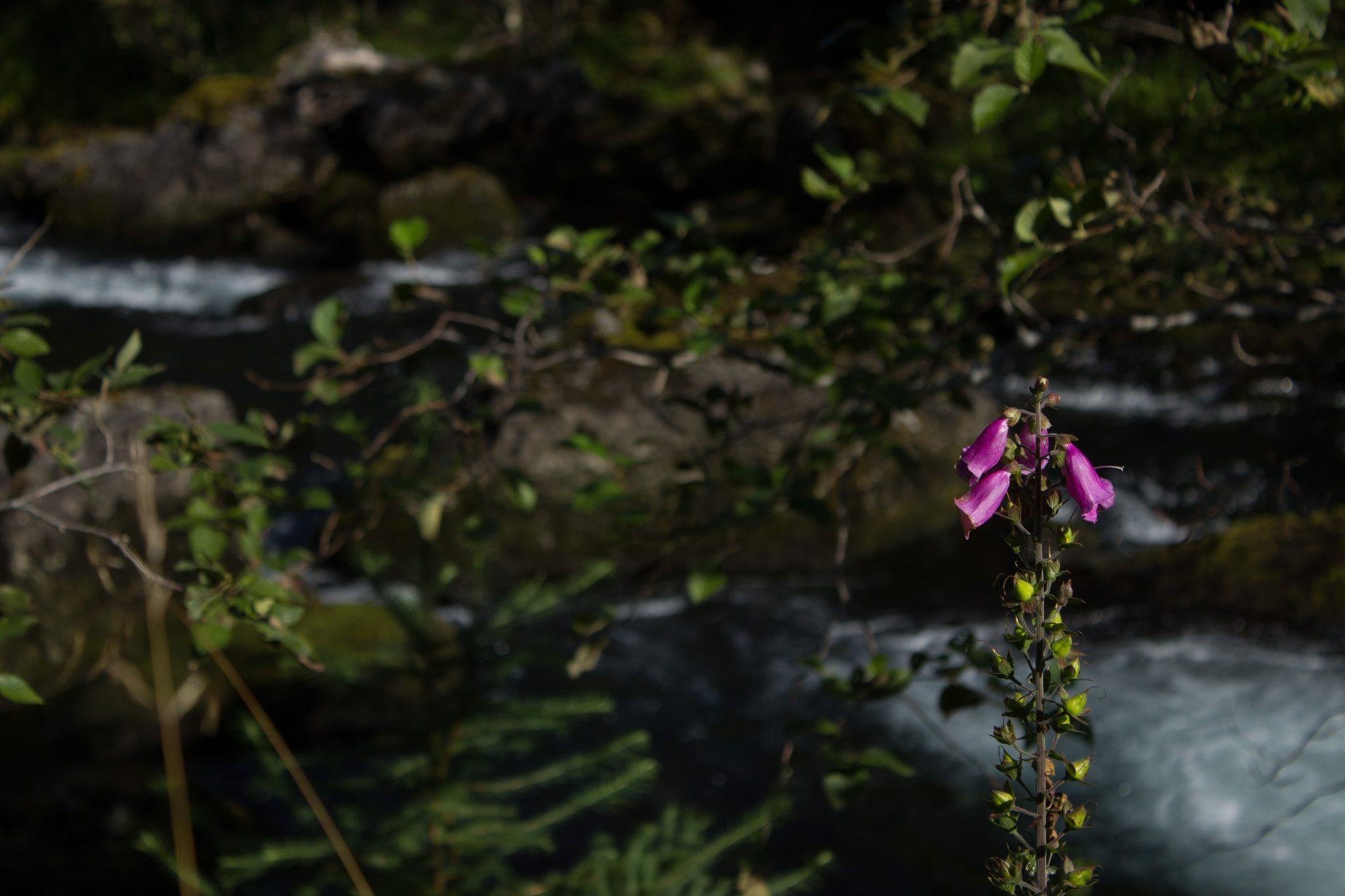 Wanderung vom Ort Sundal bis zum Gletscher Bondhusbreen im Folgefonna Nationalpark, pinke Blume vor Fluß mit sehr klarem Wasser