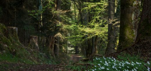 Genießerpfad, der Teinacher, naturbelassener Pfad, Wildblumen am Wegesrand, Wald