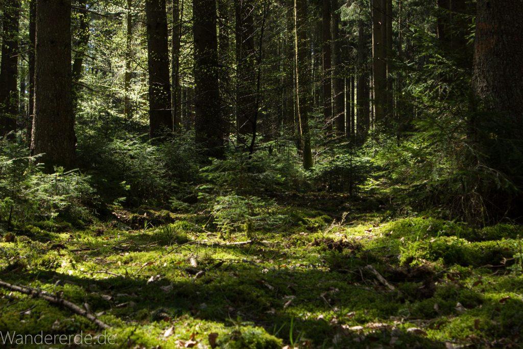 Seensteig Etappe 5, Wald beim Seensteig, natürlicher Weg durch dichten Wald, über Stock und Stein, saftig grünes Moos