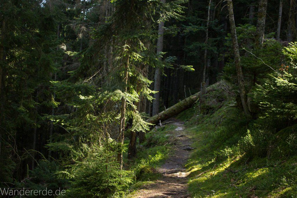 Seensteig Etappe 5, Wald beim Seensteig, natürlicher Weg durch dichten Wald, über Stock und Stein, umgestürzter Baum