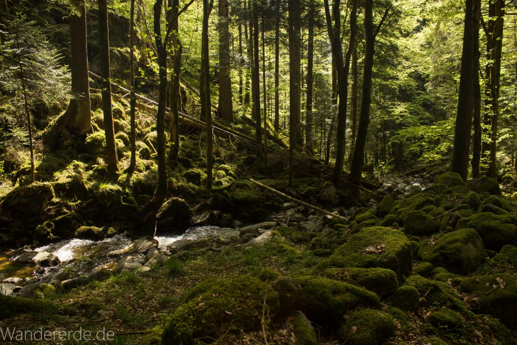 Wildbach-Tour mit Start in Gütenbach wandern,Wanderweg im Schwarzwald, schmaler Naturpfad durch schönes Tal