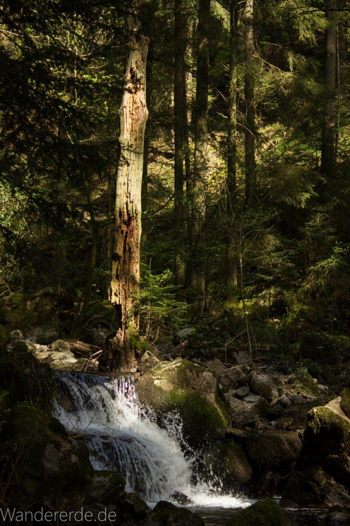 Wanderweg Wildbachtour im Schwarzwald, schmaler Naturpfad durch schönes Tal, kleiner Wasserfall, klares sauberes Wasser