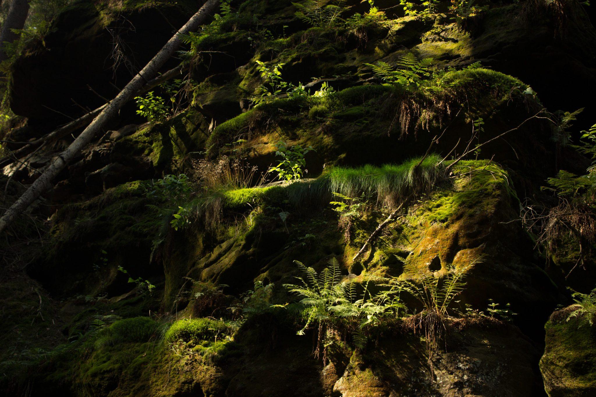 Zeughaus Roß- und Goldsteig Richterschlüchte im Kirnitzschtal wandern, Wanderweg im Wanderparadies Sächsische Schweiz mit vielen tollen Aussichten, riesiger Felsennationalpark, moosbewachsene Felsen mit Farne