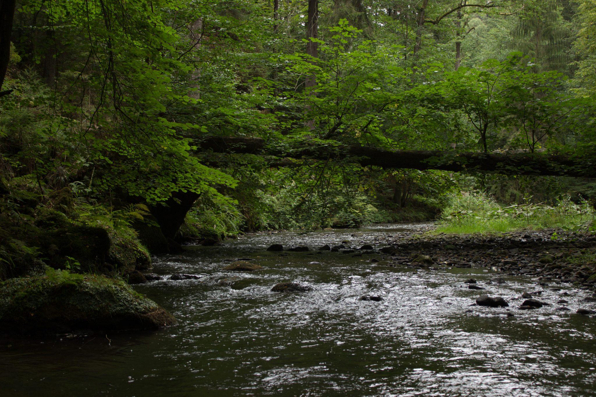 Wanderung durch Polenztal zur Bastei und zu Schwedenlöcher, Wanderweg im Polenztal, saftig grüner Wald, umgefallener Baum über Fluß Polenz