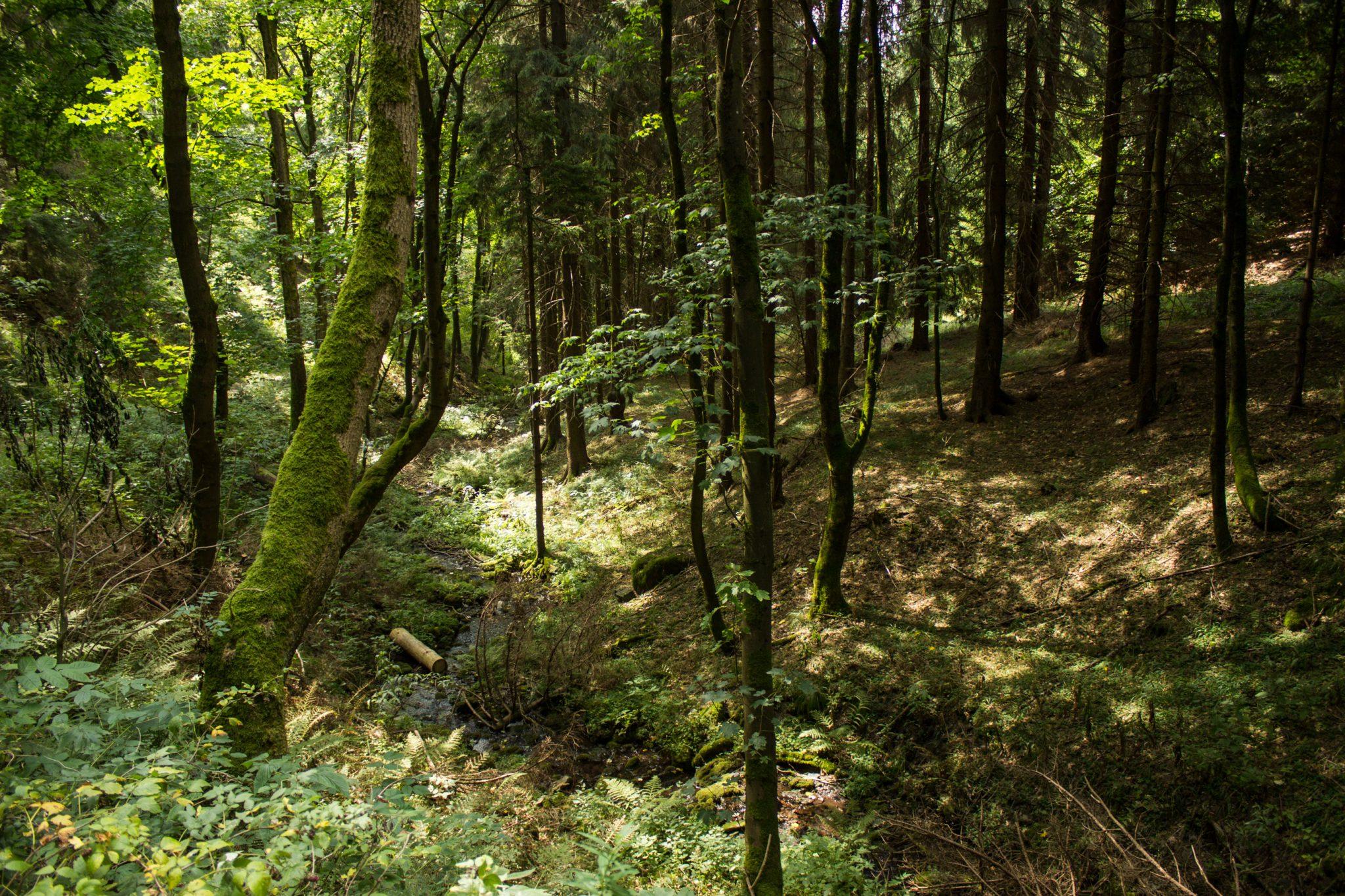 Großer Beerberg Schneekopf und Teufelskanzel, Gipfeltour Wanderung im Thüringer Wald, moosbedeckter Baum, schöner Wald