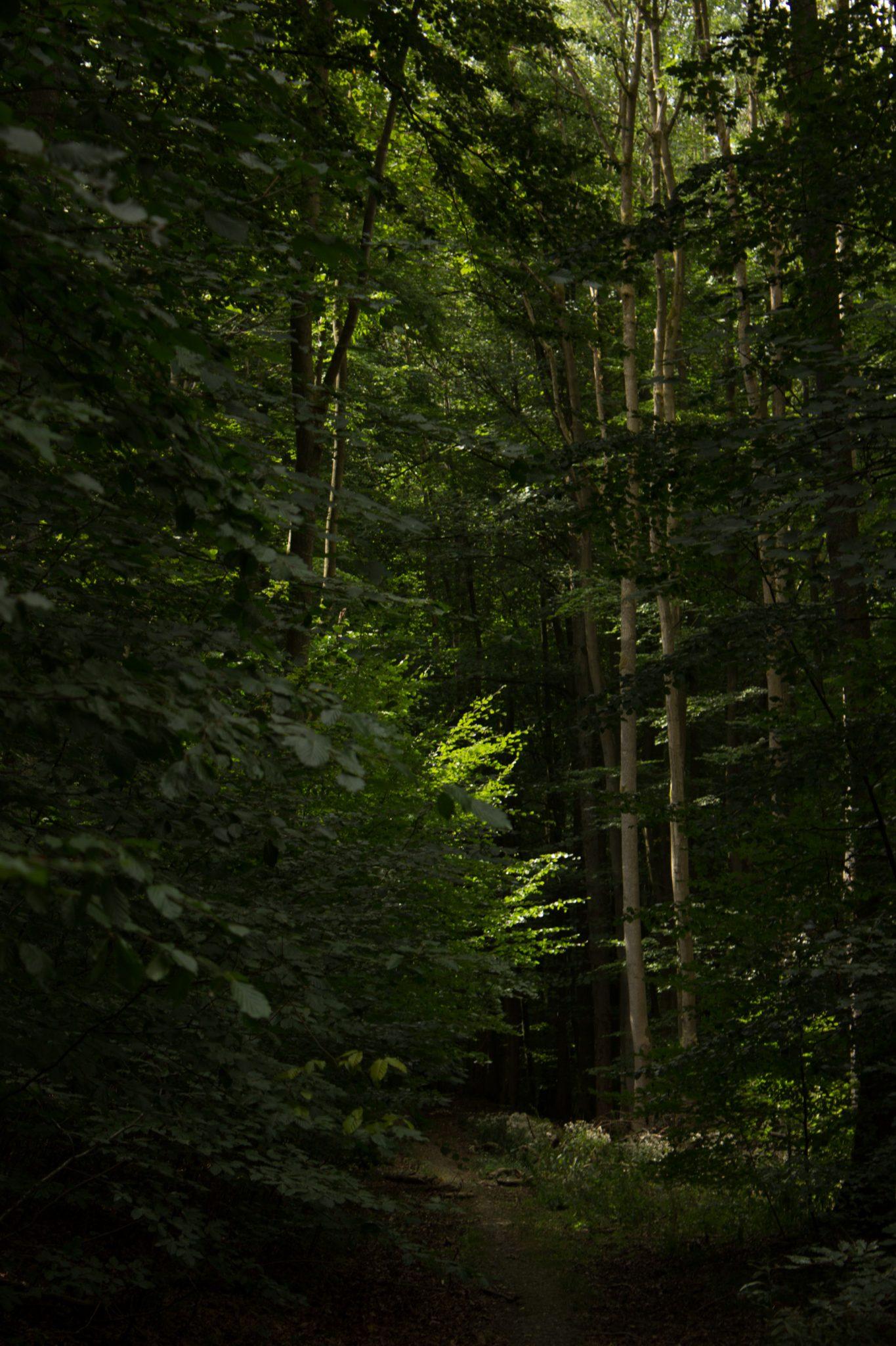Nationalpark Hainich Saugrabenweg und Betteleichenweg wandern, dichter, ursprünglicher Buchenwald, sehr schmaler toller Pfad