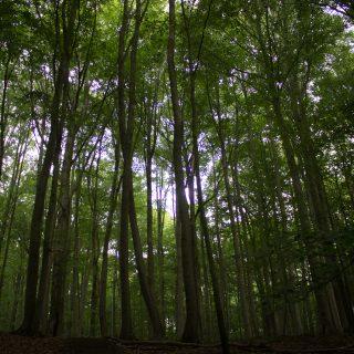 Nationalpark Hainich Saugrabenweg und Betteleichenweg wandern, dichter, ursprünglicher Buchenwald, tolle Atmosphäre