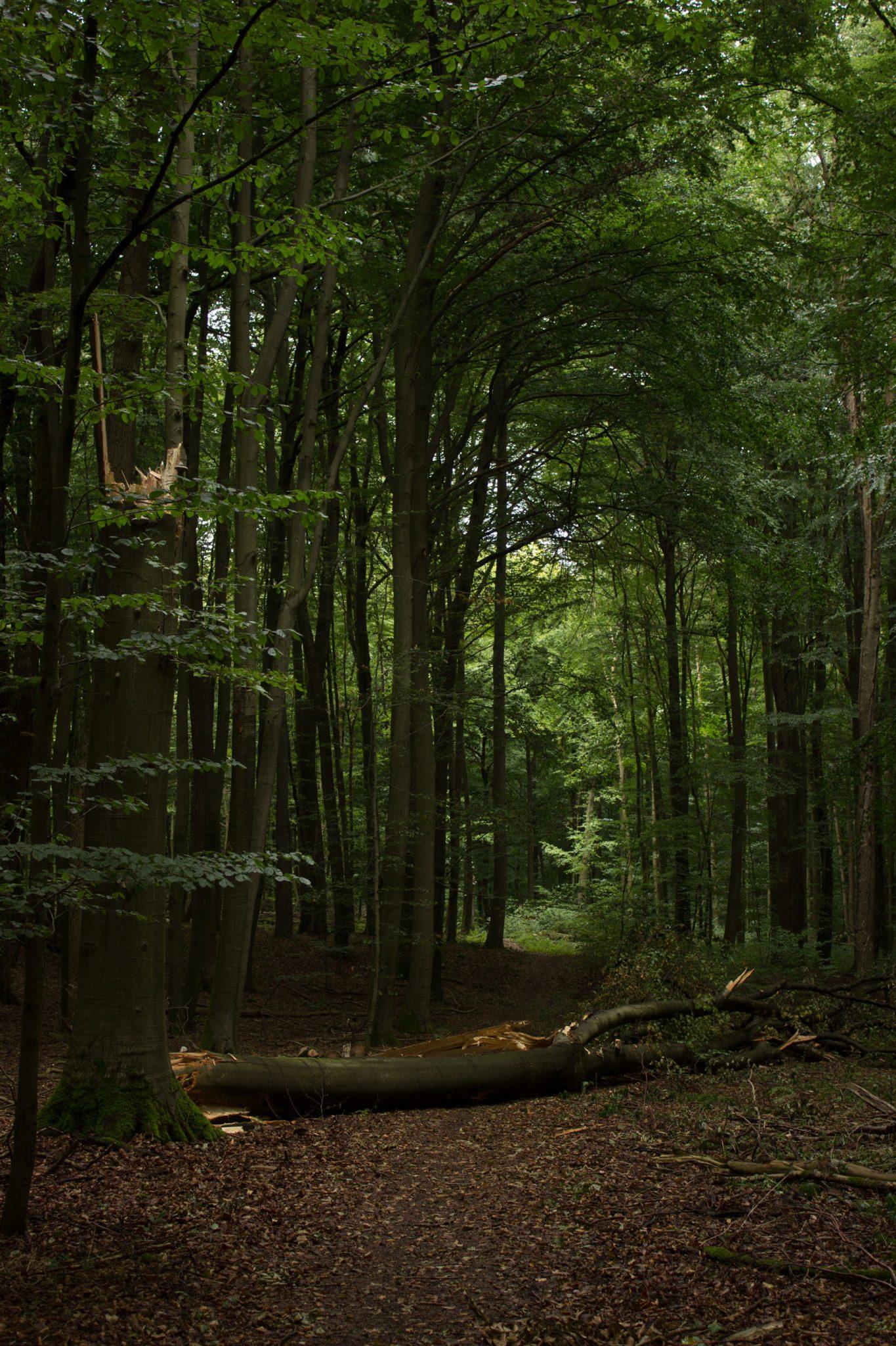 Nationalpark Hainich Saugrabenweg und Betteleichenweg wandern, dichter, ursprünglicher Buchenwald, tolle Atmosphäre, umgestürzter Baum wird liegen gelassen