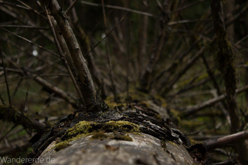 Von Frebershausen zum Quernst, zum Elisabetherplatz und zur Wolfsgrube, Wanderweg im schönen Wald im Nationalpark Kellerwald Edersee, umgekippter Baum