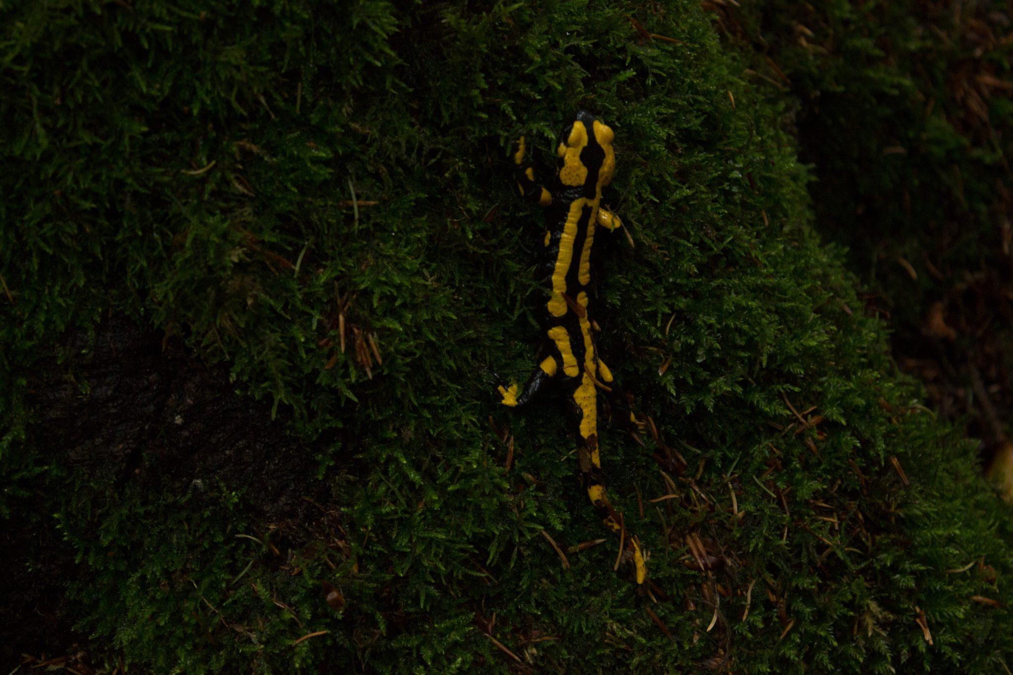 Wanderung Brocken über Heinrich-Heine-Weg Start in Ilsenburg, Nationalpark Harz, gelb schwarzer Feuersalamander direkt am Wegesrand