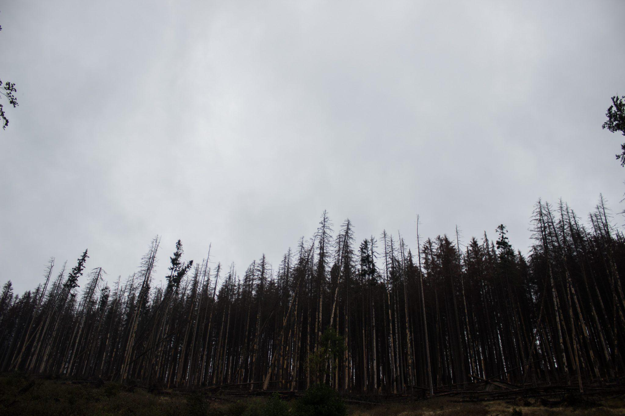 Wanderung Brocken über Heinrich-Heine-Weg Start in Ilsenburg, Nationalpark Harz, von Borkenkäfer zerstörter Wald, triste Stimmung