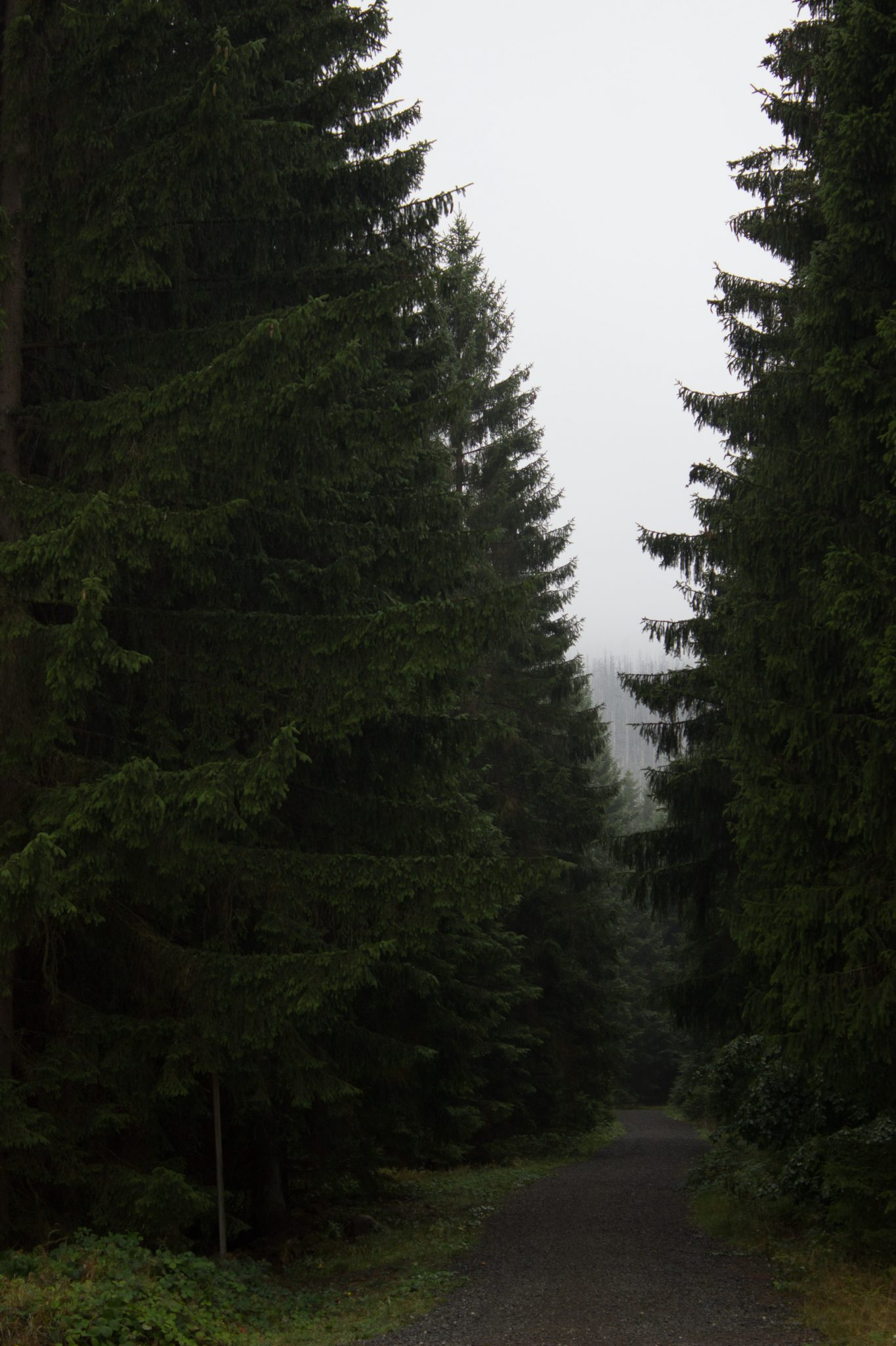 Wanderung Brocken über Heinrich-Heine-Weg Start in Ilsenburg, Nationalpark Harz, triste Stimmung, steiniger Weg zum Brocken. ringsum Wald mit hohen Tannen