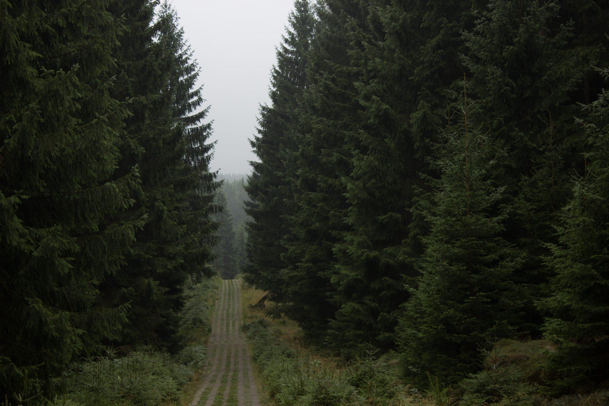 Wanderung Brocken über Heinrich-Heine-Weg Start in Ilsenburg, Nationalpark Harz, triste Stimmung, Weg zum Brocken über alte Militärstraße, ringsum Wald mit hohen Bäumen, regnerisch, schöne einsame Atmosphäre