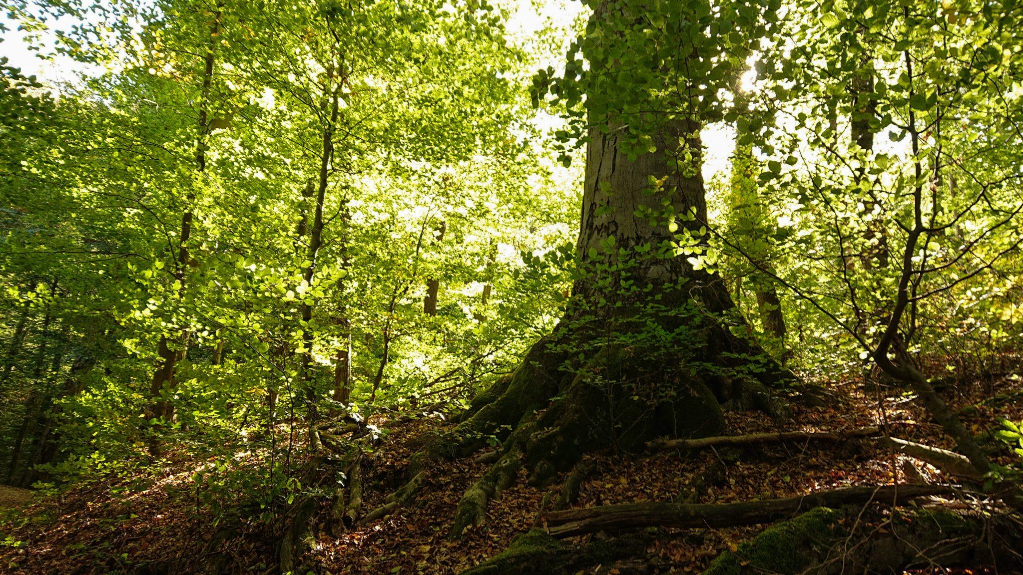 Rundwanderung Thale nach Treseburg - über Hexentanzplatz, Bodetal und Roßtrappe, großer Baum im Bodetal, Sonnenstrahlen zaubern schönes Licht im grünen Wald, Herbststimmung