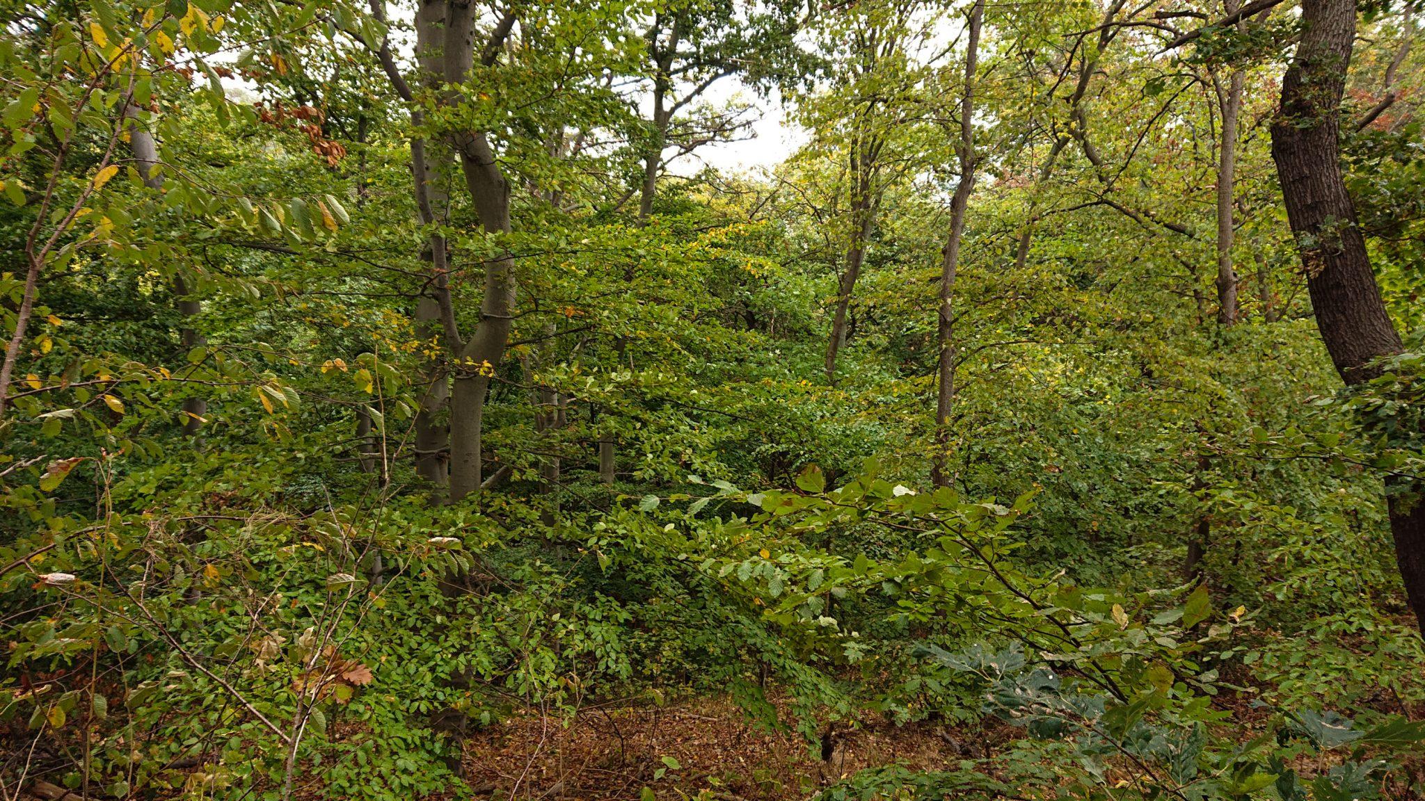 Rundwanderung auf der Blankenburger Teufelsmauer, Wanderung über den Nordhang durch schönen, dichten Buchenwald