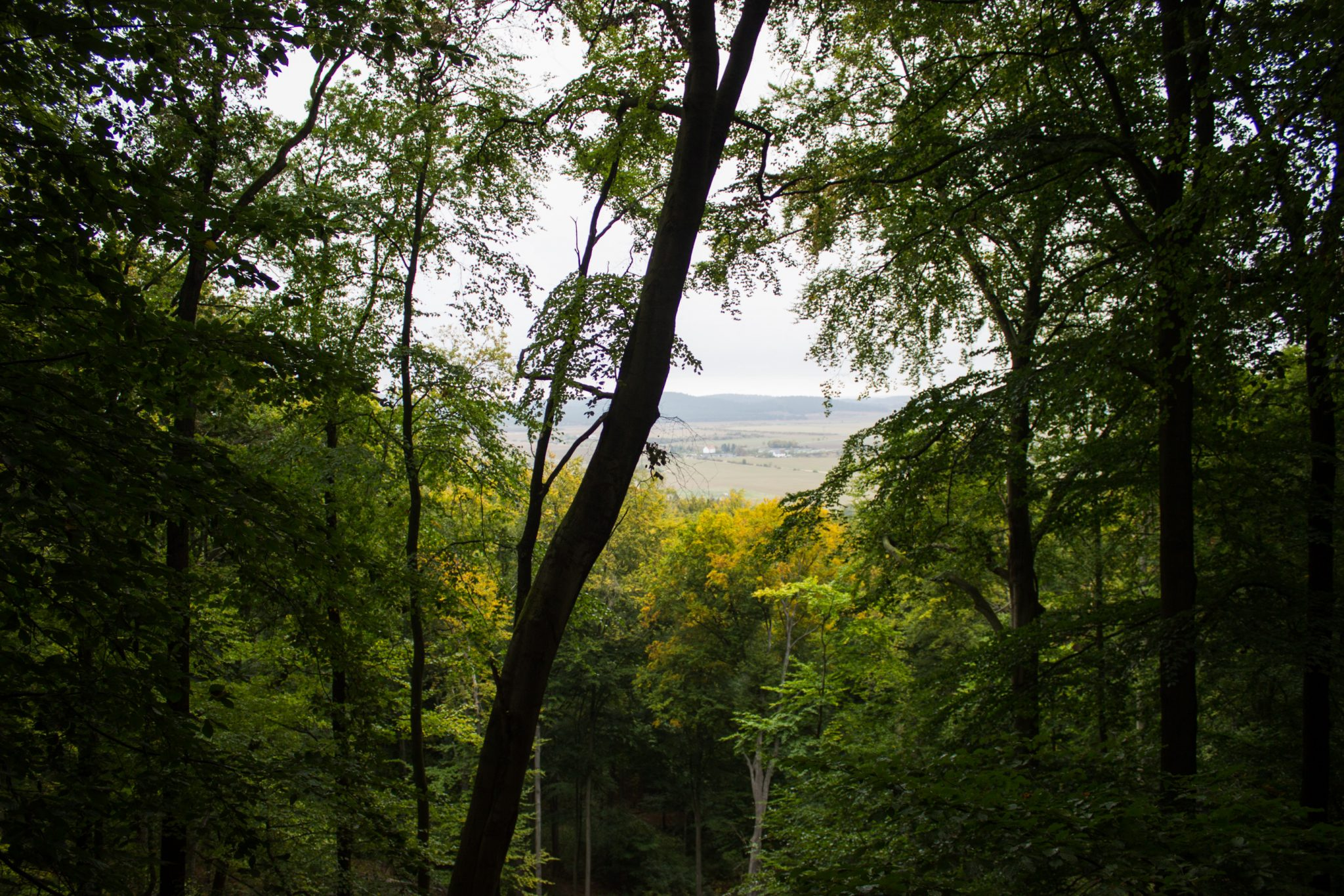 Rundwanderung auf der Blankenburger Teufelsmauer, Wanderung über den Nordhang durch schönen, dichten Buchenwald, weite Aussicht durch Baumlücke