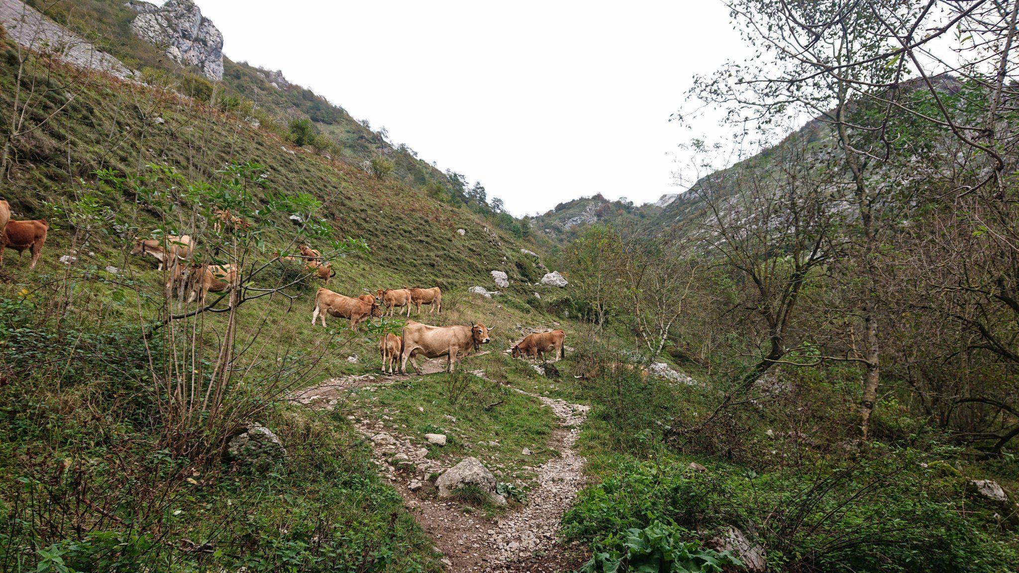 Wanderung Poncebos nach Bulnes in den Picos de Europa, schmaler Wanderpfad zwischen hohen Felswänden, saftig grüne Wiese, Steine und Geröll, tolles Wanderwetter, Kühe stehen auf dem Wanderweg