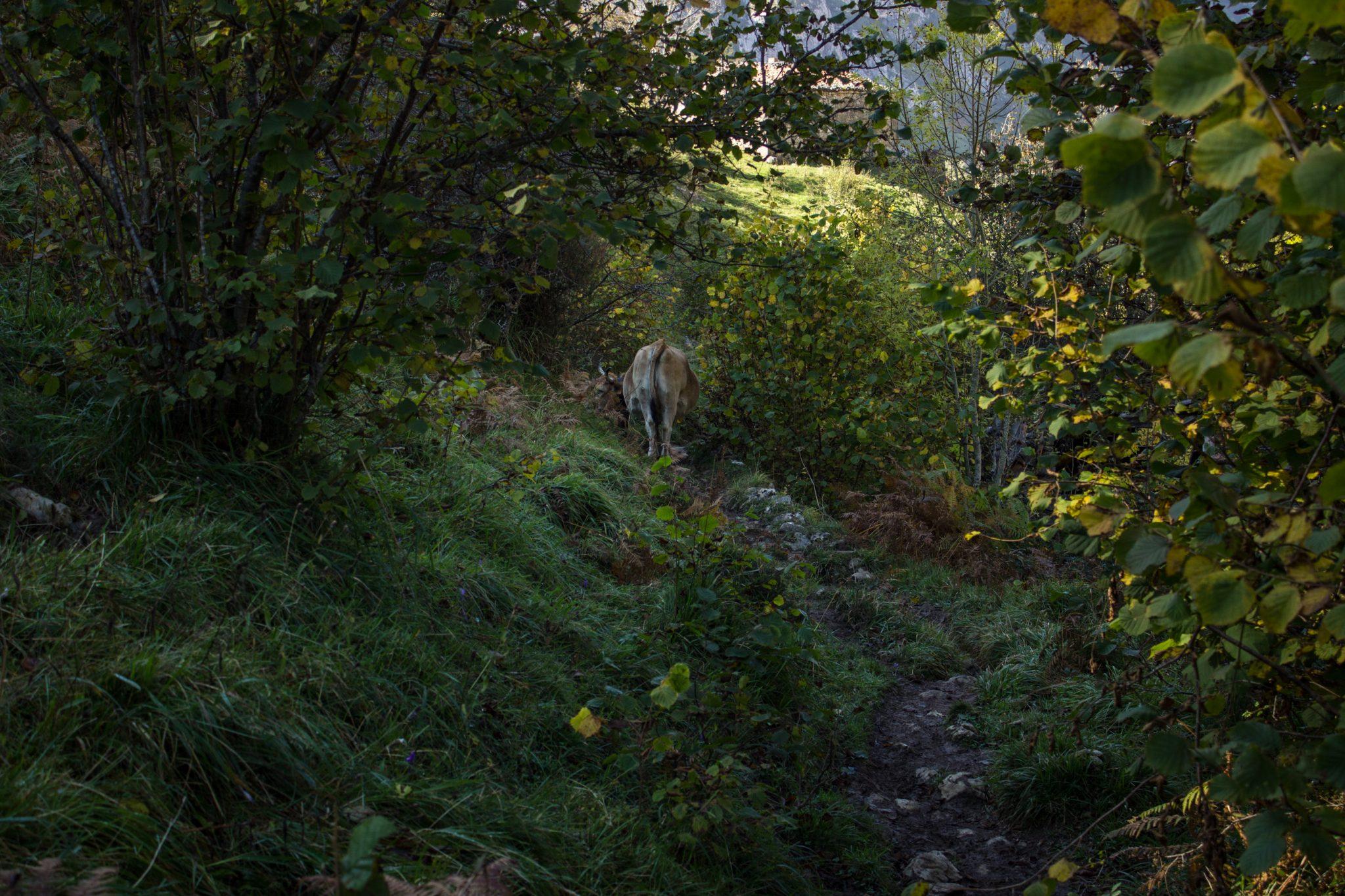 Wanderung Poncebos nach Bulnes in den Picos de Europa, schmaler Wanderpfad, saftig grüne Wiese, Steine und Geröll, tolles Wanderwetter, Kuh steht auf dem Wanderweg