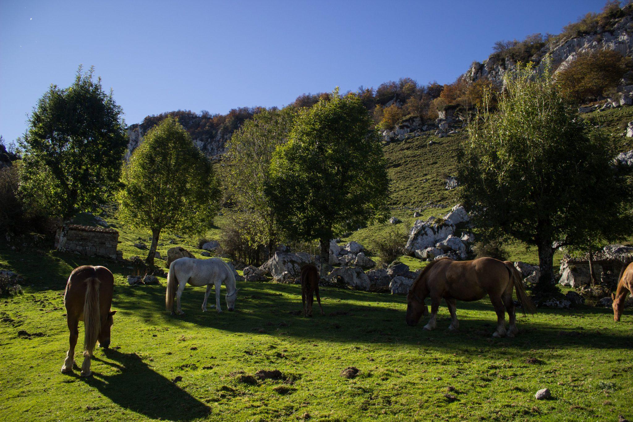 Wanderung Mirador de Ordiales Picos de Europa Spanien, grüne Wiese, Pferde