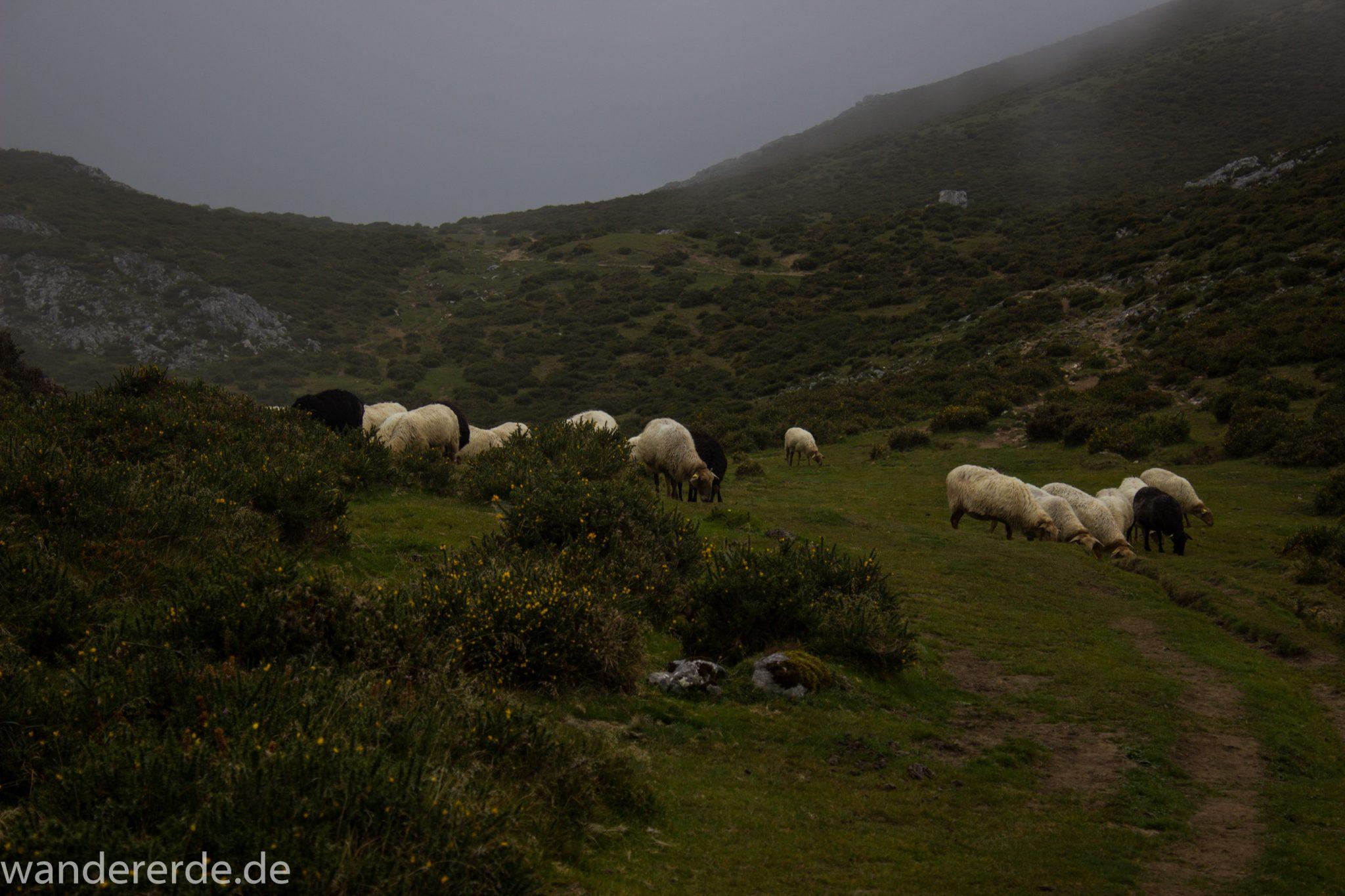 Wanderung Vega de Ario Picos de Europa Spanien, Schafe grasen auf Wiese, dichte Wolken, Bergregion in Nordspanien, Wandern, atmosphärisch, saftig grüne Wiese und Büsche