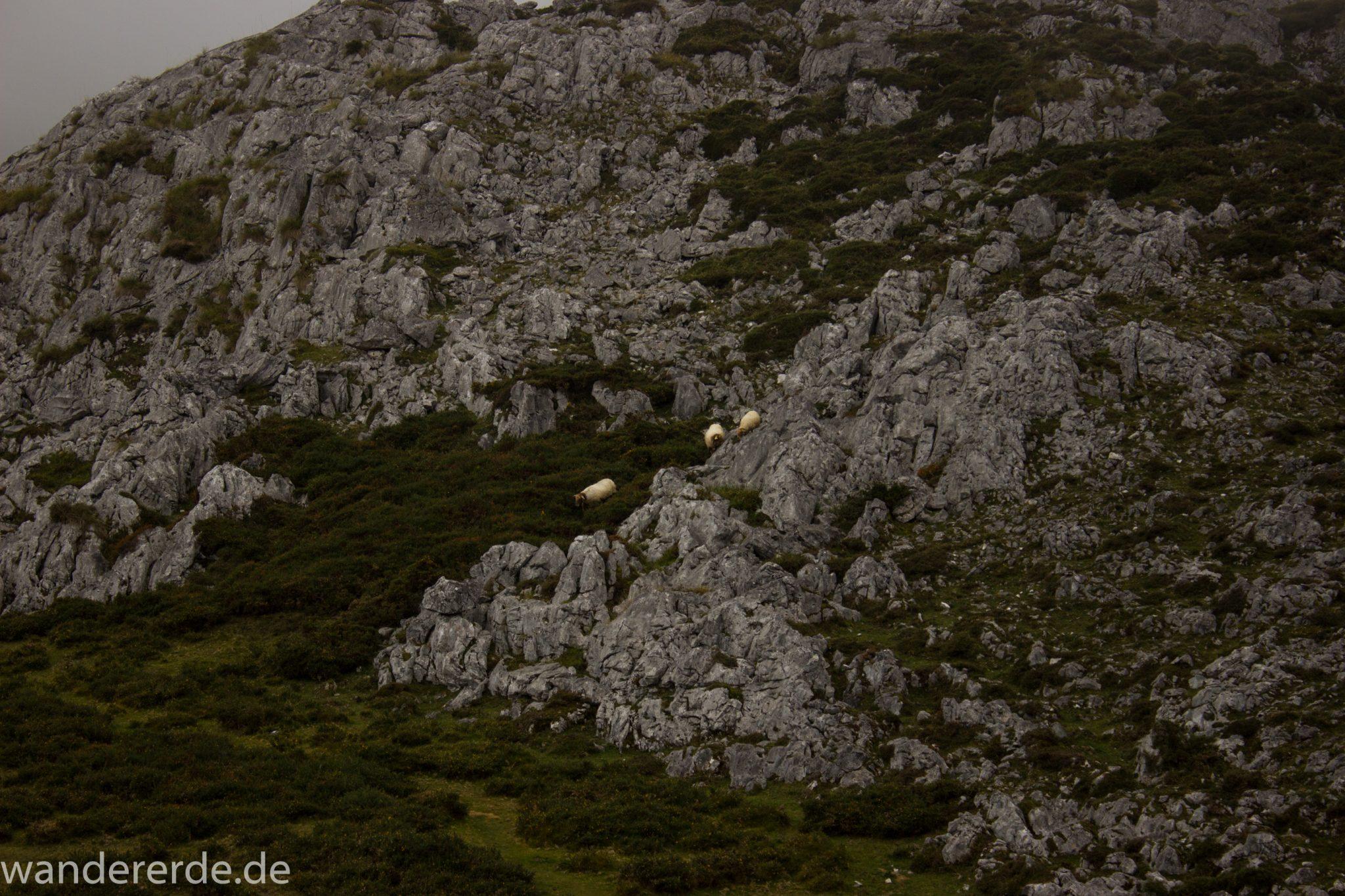 Wanderung Vega de Ario Picos de Europa Spanien, Schafe grasen auf Wiese, Berghang, dichte Wolken, Bergregion in Nordspanien, Wandern, atmosphärisch, saftig grüne Wiese und Büsche