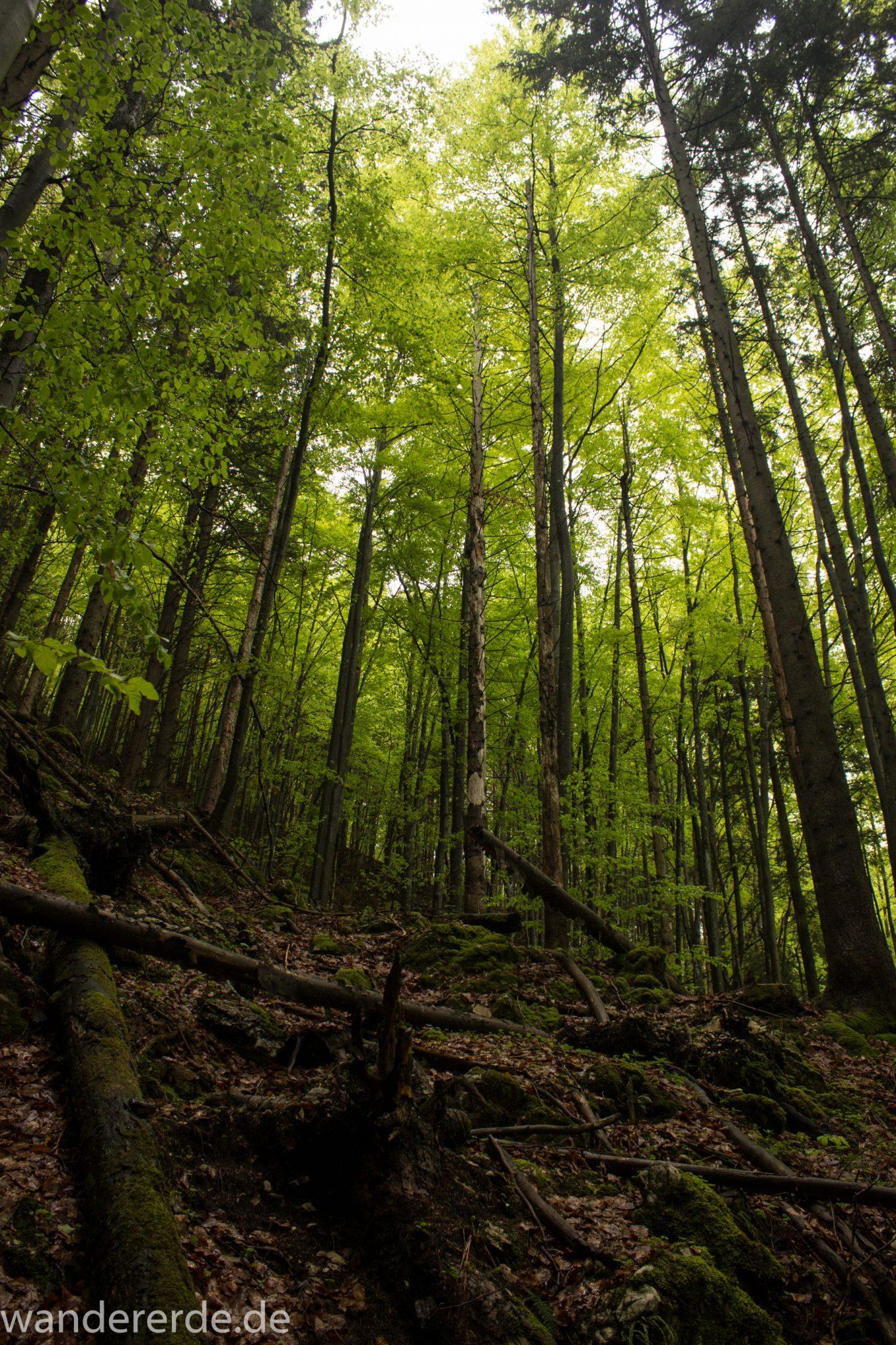 Wanderung beim Alpsee bei Hohenschwangau, schöner schmaler Wanderweg durch Laubwald und Nadelwald, Frühling in Bayern, alte Bäume werden liegen gelassen
