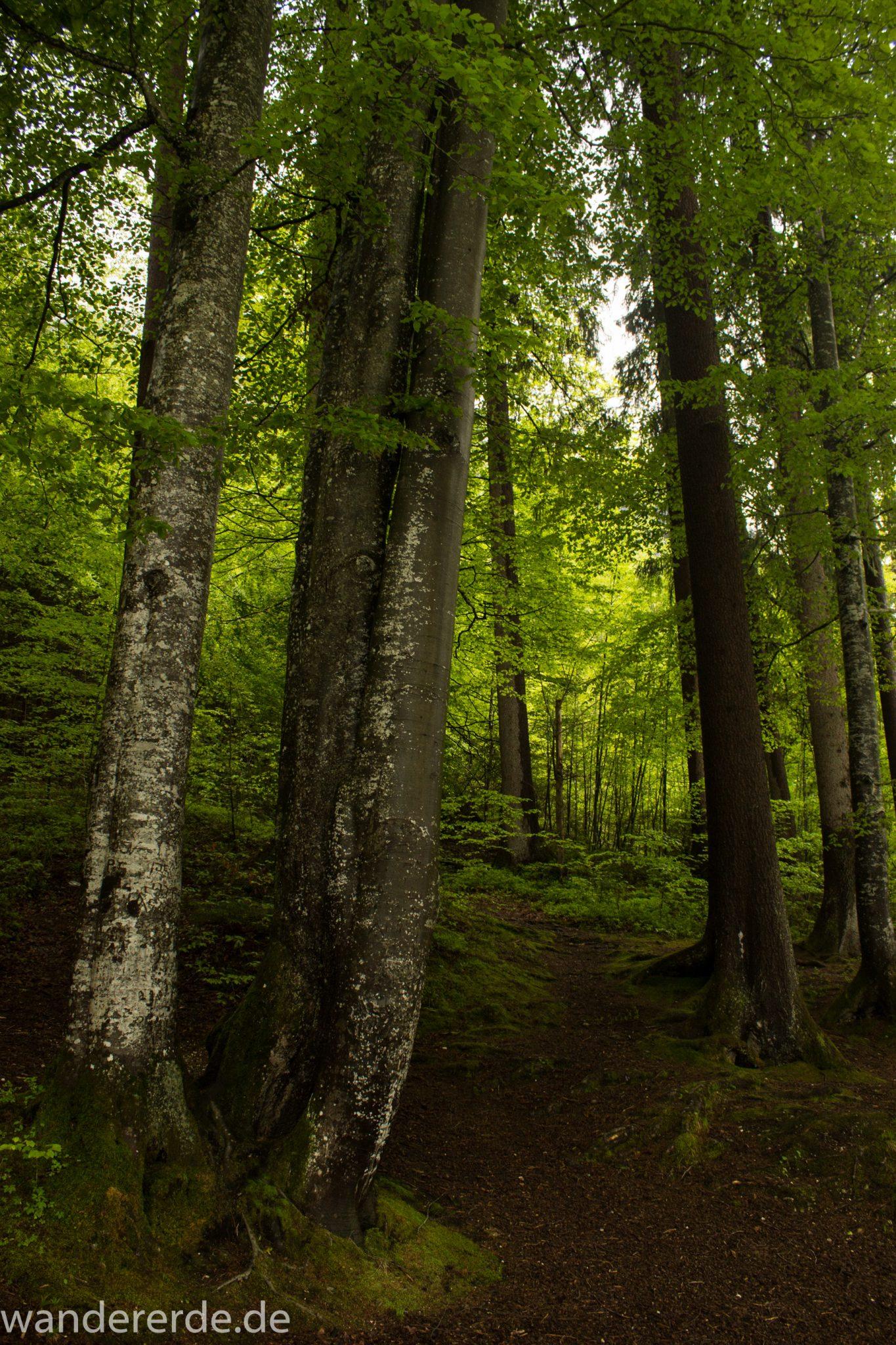 Wanderung beim Alpsee bei Hohenschwangau, schöner schmaler Wanderweg durch Laubwald und Nadelwald, Frühling in Bayern, verschiedenste Grüntöne