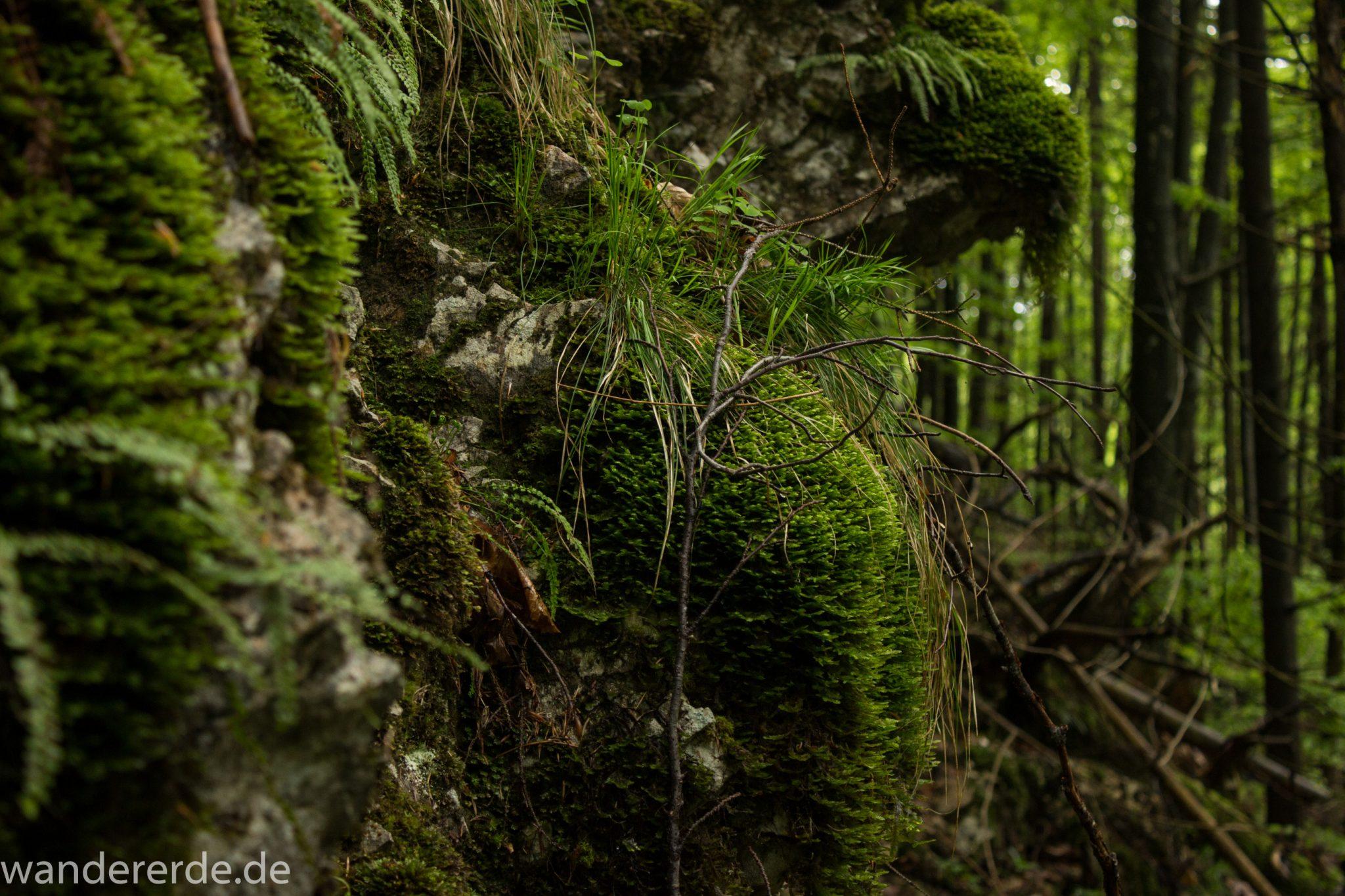 Wanderung beim Alpsee bei Hohenschwangau, Moos und Gras am Felsen am Wegrand