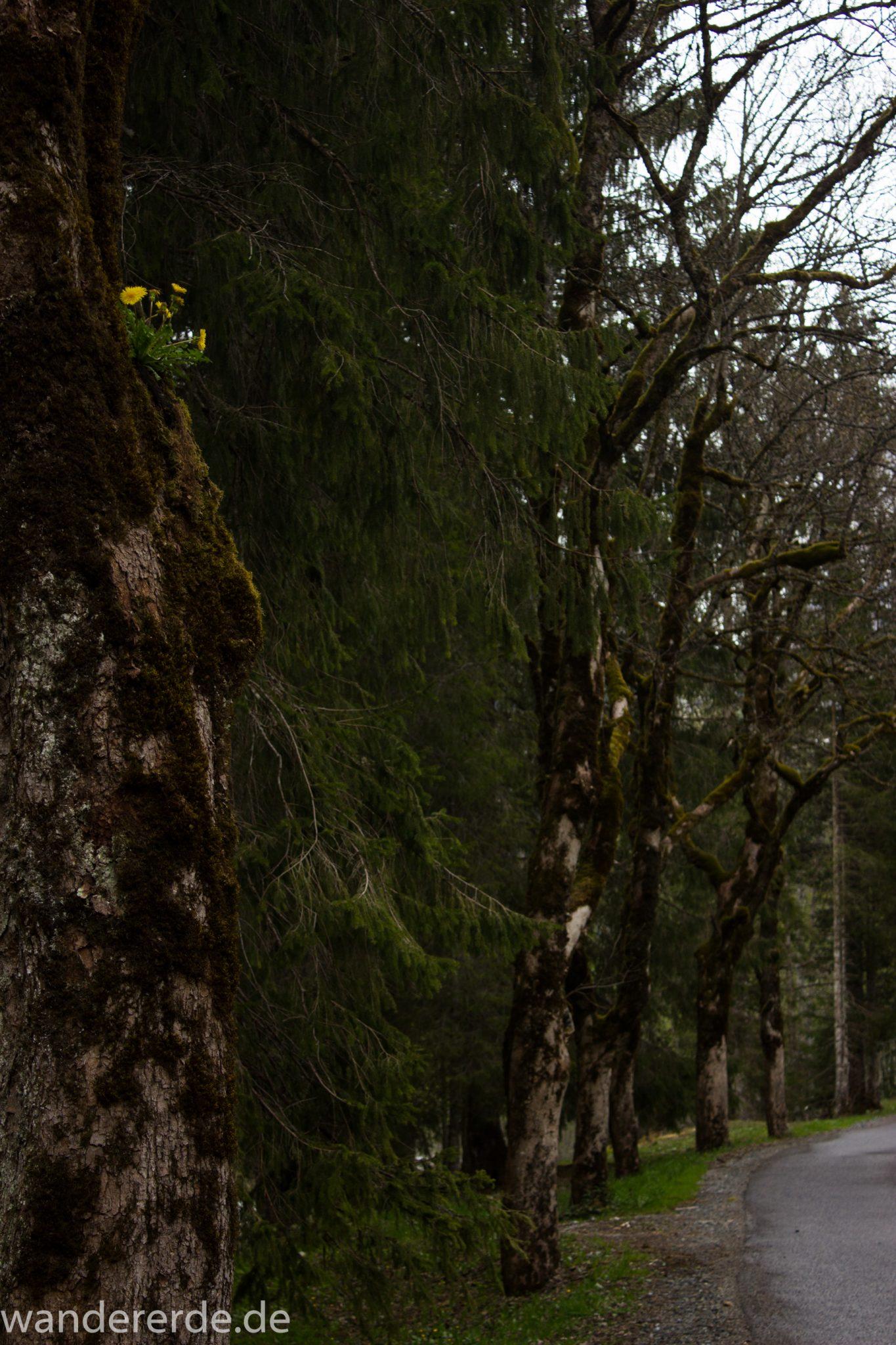 Wanderung im Oytal bei Oberstdorf im Allgäu, Bayern, schöner dichter und grüner Wald  im Oytal, Wanderweg leider Asphalt, aber die Umgebung entschädigt, sehr schöne Atmosphäre